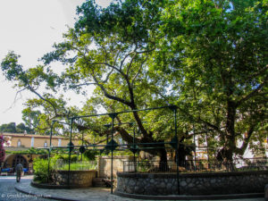 The ancient plane tree in Kos town